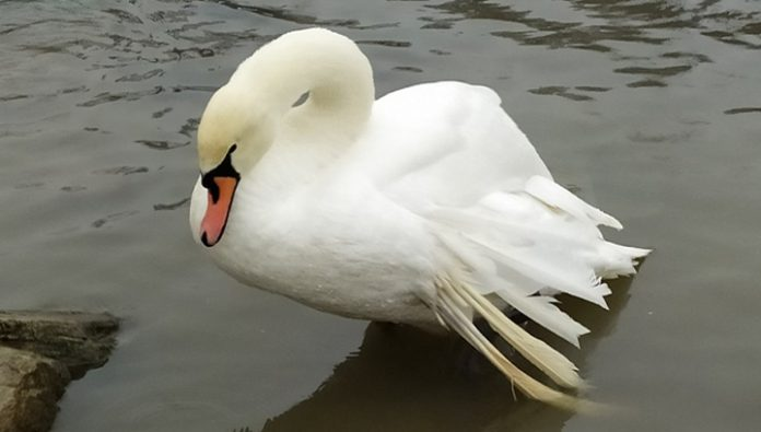 A Swan with a damaged wing was saved from death at the lake Heat in Ufa