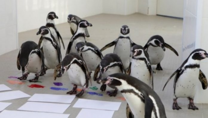 Penguins have mastered the technique of finger painting in the seaside aquarium