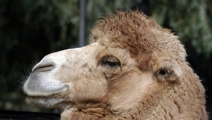 Australian authorities would kill thousands of camels because of the lack of water