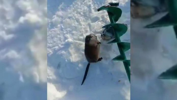 Caught a muskrat that attacked a fisherman in Buryatia