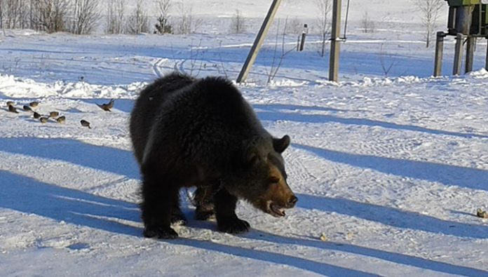 In Bashkiria inhabitants frightened a bear on the streets of the village