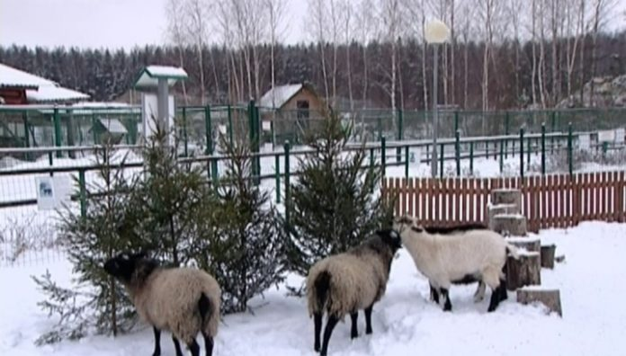 Residents of Yaroslavl propose to give the zoo a Christmas tree