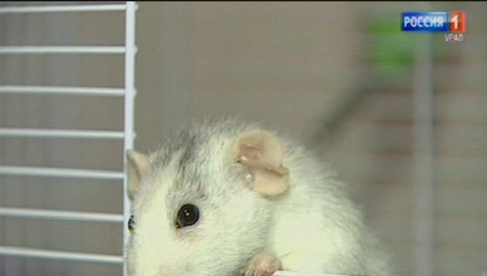 Sverdlovchane massively rid manual the rats, which were received in the New year