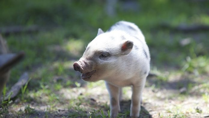 The CRISPR technology have cured pigs with muscular dystrophy