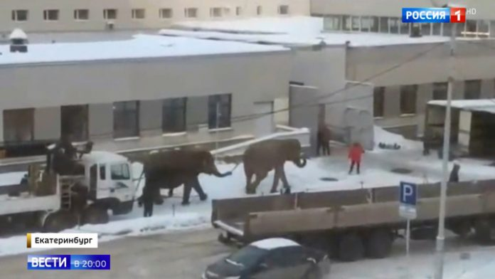 Tropical animals in the snow of the Ural in Yekaterinburg elephants came out on the promenade