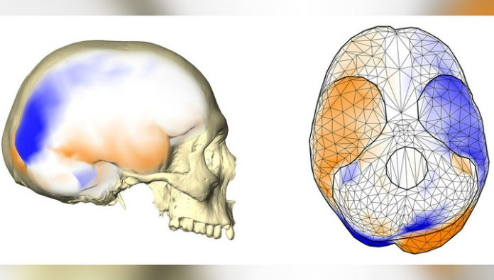 The monkeys found the asymmetry of the human brain