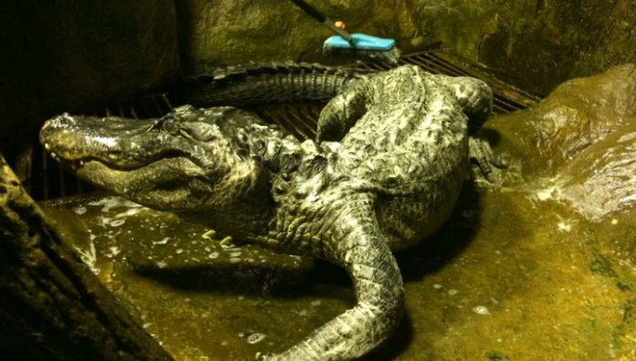 The Darwin Museum will make a Scarecrow of the 84-year-old alligator Saturn