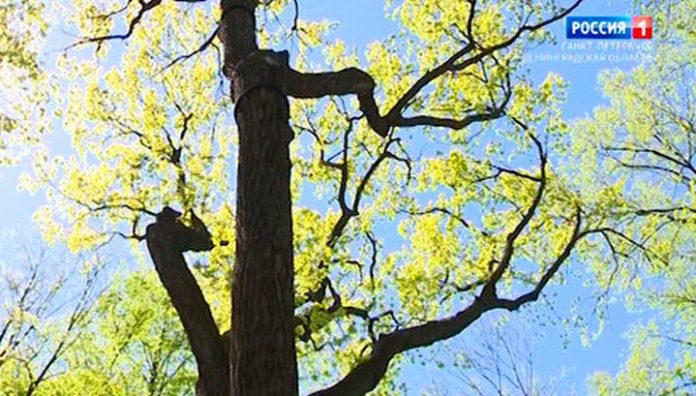 The Imperial oak tree in the Summer garden planted across the country