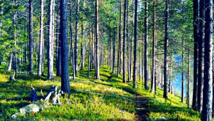 Authorities in Murmansk region have imposed restrictions on forest walk