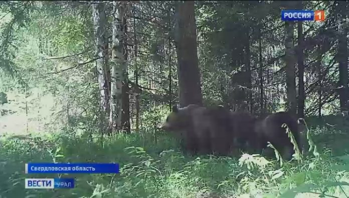 Bear's family came to videolook in Visimskiy reserve
