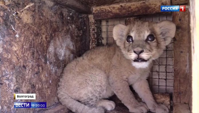 Pretended to be a dog: to Moscow from Makhachkala to baggage transported the cub