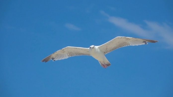 Rosneft commenced studies of the ivory gull in the Arctic