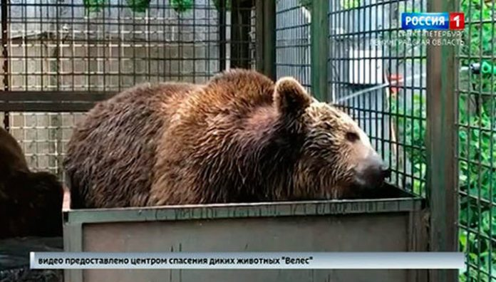 Water treatment save bear Nose from the heat