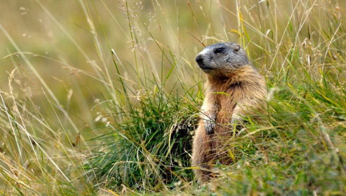 CPS: don't eat marmots, and the plague will not be