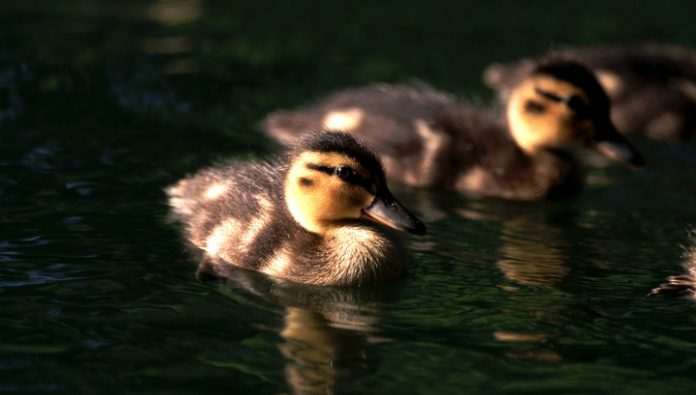 Rescued ducklings caught in a sewer in New Moscow
