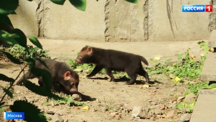 Touching footage from the Moscow zoo were born unusual puppies